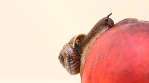 snail eats fruit an peach on a white background Footage
