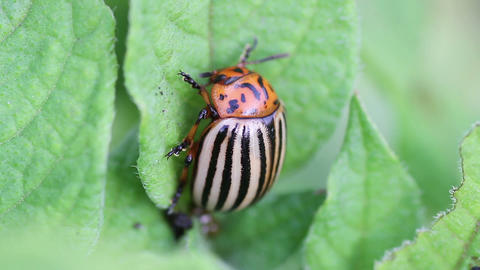 Colorado potato beetle Footage