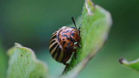 potato beetle Footage