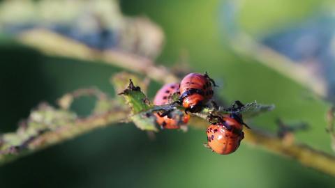 Colorado potato beetle. Larvas Stock Video Footage