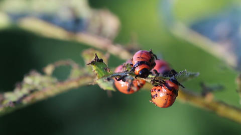 Colorado potato beetle. Larvas Footage