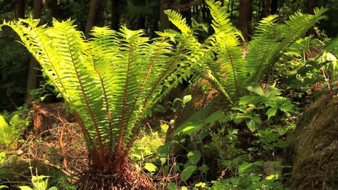 Ferns in sunlight Stock Video Footage