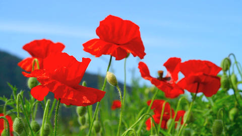 Poppies field in the wind Footage