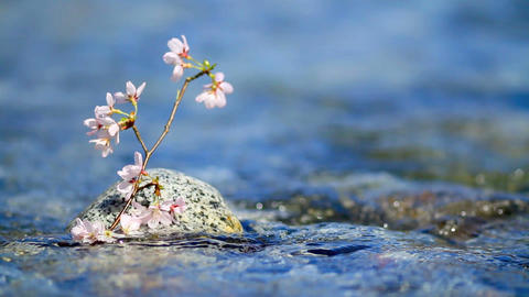 Cherry Branch Above Water stock footage