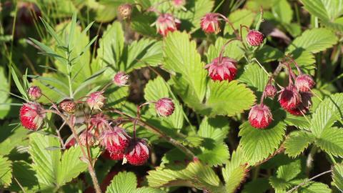 wild strawberry Fragaria vesca Stock Video Footage