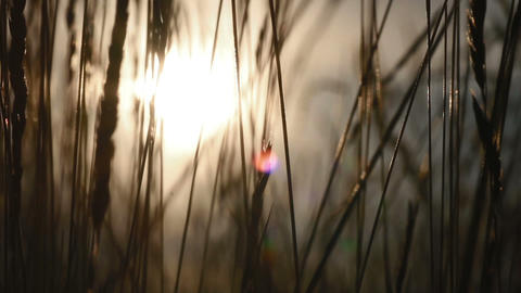 wheat field in the sunset Stock Video Footage