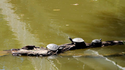 Turtles on a log in water Stock Video Footage