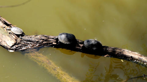 Turtles on a log in water Footage