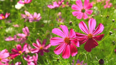 Cosmos flower field Stock Video Footage