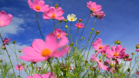Cosmos flower Footage