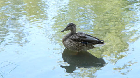 Ducks In The Pond. Pond Ducks. Ducks Resting In A  stock footage