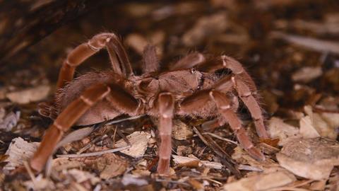 Pelinobius muticus King Baboon Spider Footage
