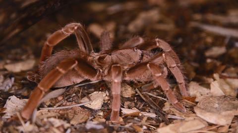 Pelinobius muticus King Baboon Spider Stock Video Footage