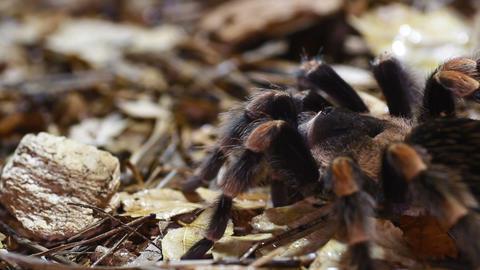 Mexican Redknee Tarantula Brachypelma smithi Stock Video Footage
