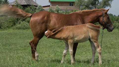 Mare and foal 2 Footage