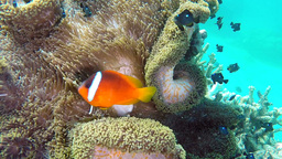 Clown anemone fish on tropical reef Footage