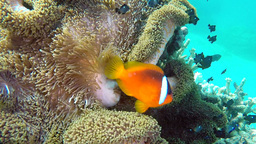 Clown anemone fish on tropical reef Stock Video Footage