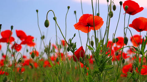 Red Poppies and Other Steppe Vegetation Footage