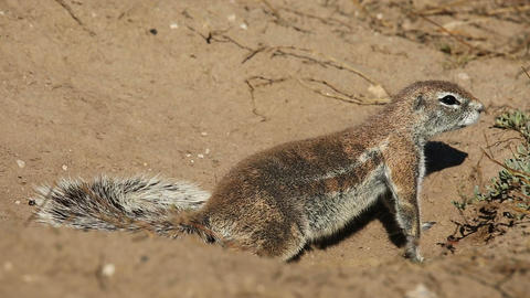 African ground squirrel Stock Video Footage