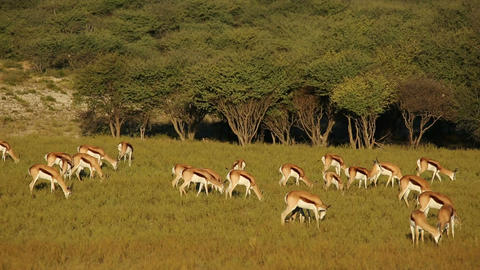 Grazing springbok antelopes Footage
