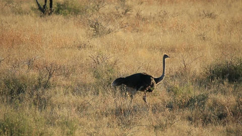 Ostrich landscape Stock Video Footage