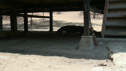 Komodo Dragon Walking Under A House In Urban Area stock footage
