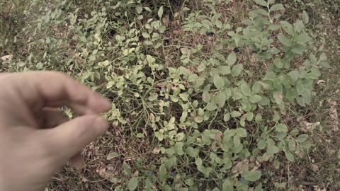 Picking blueberries POV 2 Stock Video Footage