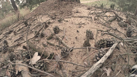Ants Swarming Among Pine Cones 2 stock footage