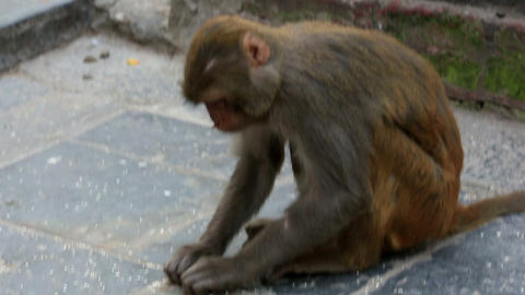 Macaque monkeys eating rice in the stupa of Swayam Stock Video Footage