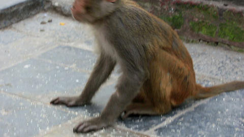 Macaque monkeys eating rice in the stupa of Swayam Footage