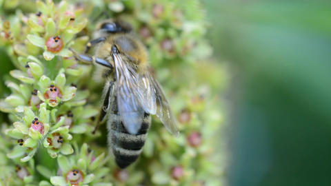 Honey bee on flower Footage
