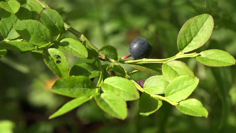 Blueberry Bush In The Forest. 4K stock footage