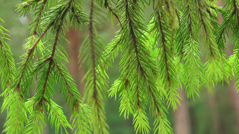 Fir-tree branches with young shoots. 4K Footage