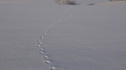 Winter landscape with tracks of a fox on the field Footage