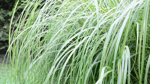 Ornamental grass Stock Video Footage