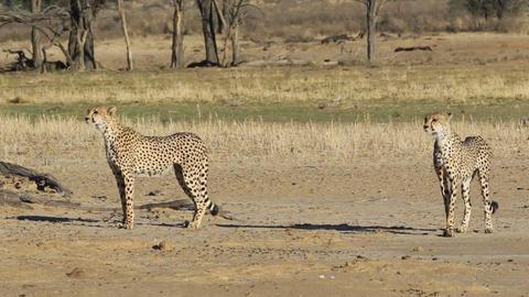 Alert Cheetahs Footage
