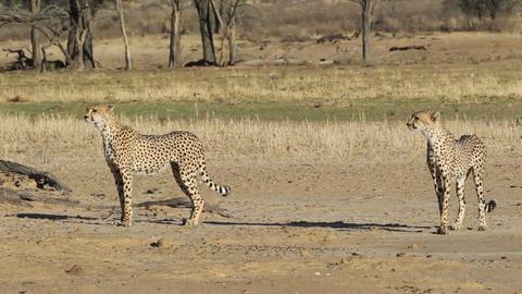 Alert Cheetahs Stock Video Footage