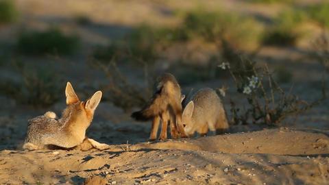 Cape fox family Footage