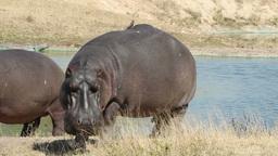 Hippopotamus 05 Footage