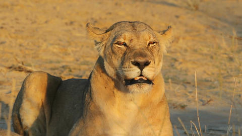 Snarling lioness Footage
