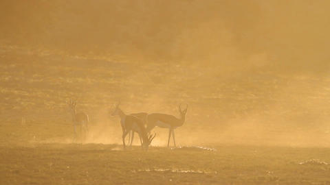 Springbok at sunrise Footage