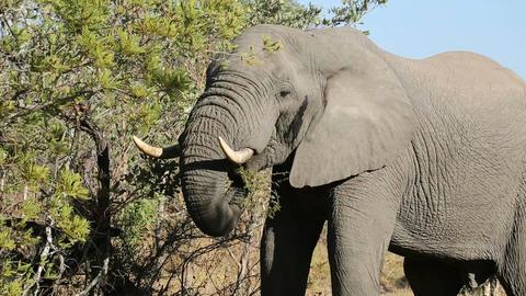 African elephant feeding Footage