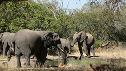 African elephants drinking water Stock Video Footage