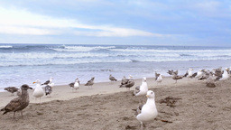 Seagulls on beach Footage