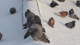 Pigeons Sitting On Snow stock footage