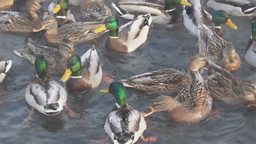 Wild ducks at a river in winter Stock Video Footage