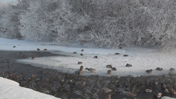 Winter river with a lot of ducks Stock Video Footage