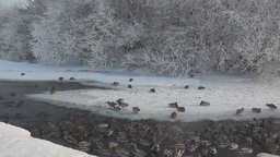 Winter river with a lot of ducks Footage