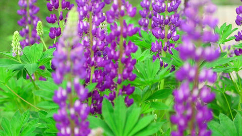 Lupine Stock Video Footage