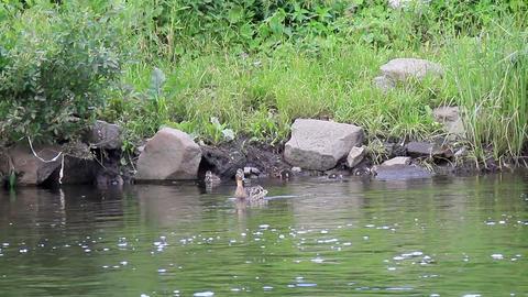 Ducklings swim in the duck. Ekaterinburg, Russia Footage